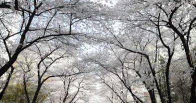 서울 강동구 명일동 삼익그린2차아파트 벚꽃나무 30년 넘어